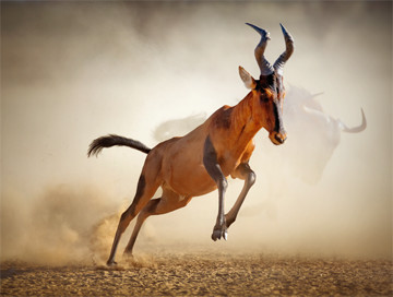 Hunting trips: Red hartebeest