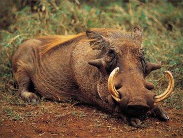 Hunting trips: Warthog