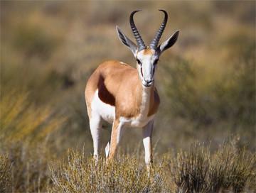 Hunting trips: Common springbok