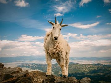 Hunting trips: Mountain goat
