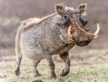 Hunting trips: Hog