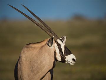 Hunting trips: Oryx