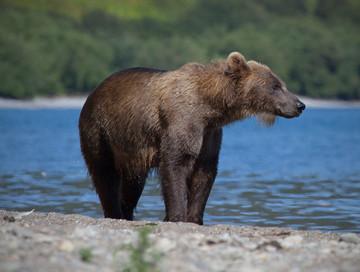 Hunting trips: Kamchatka brown bear