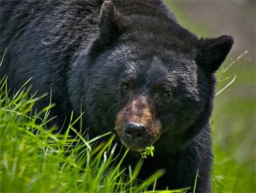Hunting trips: Black bear