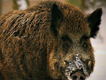 Hunting trips: Wild boar